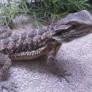 bearded dragon ( reptile)