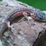 leopard gecko( reptile)